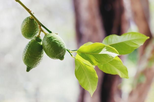 Зеленые свежие лаймы, висит на дереве