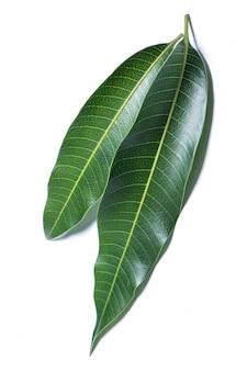 Зеленые свежие листья манго, изолированные на белом фоне, красивая текстура вен в деталях
