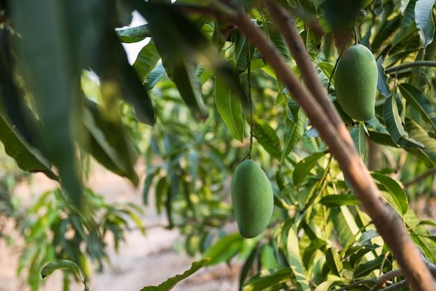 여름에 열대 농장에서 나무 아래 녹색 신선한 망고