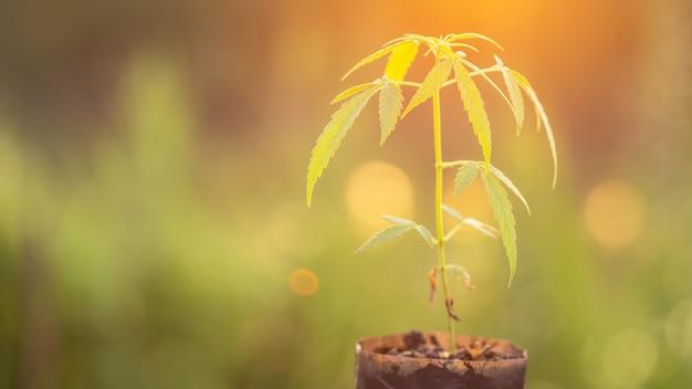 Green fresh of marijuana tree in garden bag with morning sunlight