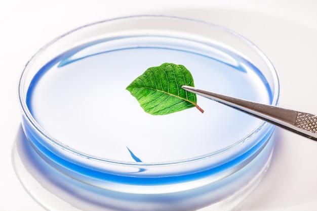 실험실 접시, 트레이에 녹색 신선한 자연 잎