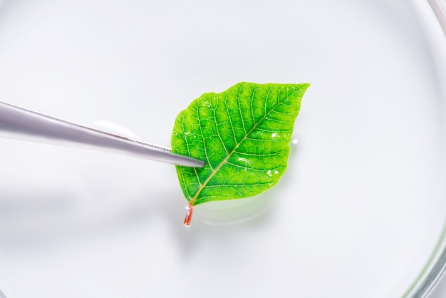 Green fresh natural leaf in laboratory dish, tray