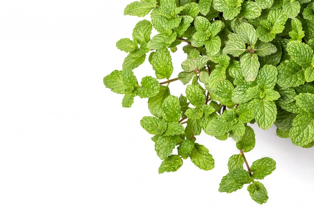 Green fresh peppermint leaves