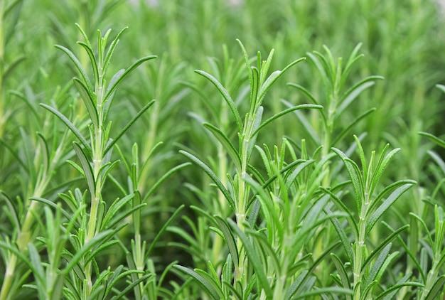 녹색 신선한 로즈마리 매운 허브 (rosmarinus officinalis) 콩나물 성장, 클로즈업