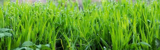 朝露が落ちる緑の新鮮な若い草