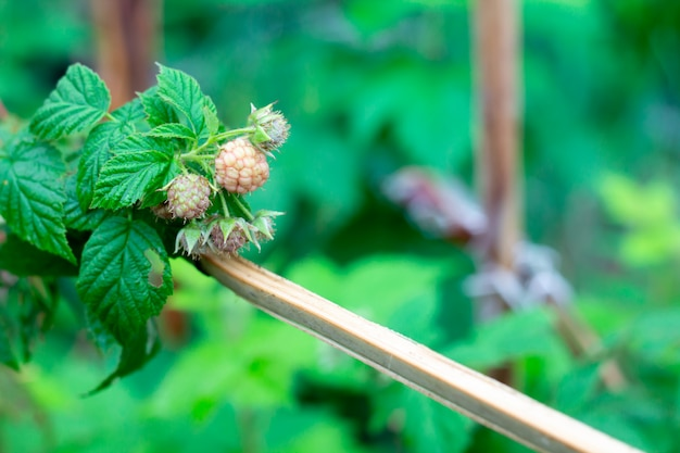 Green freshness raspberry leaves in spring season