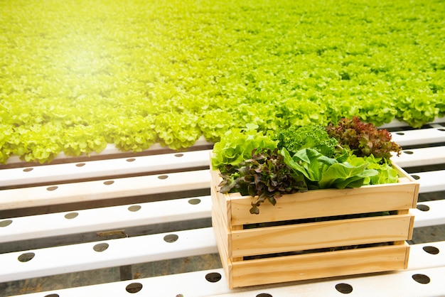 Green frillice iceberg lettuce with red oak in wooden basket,organic green vegetable growth in greenhouse hydroponic farm.