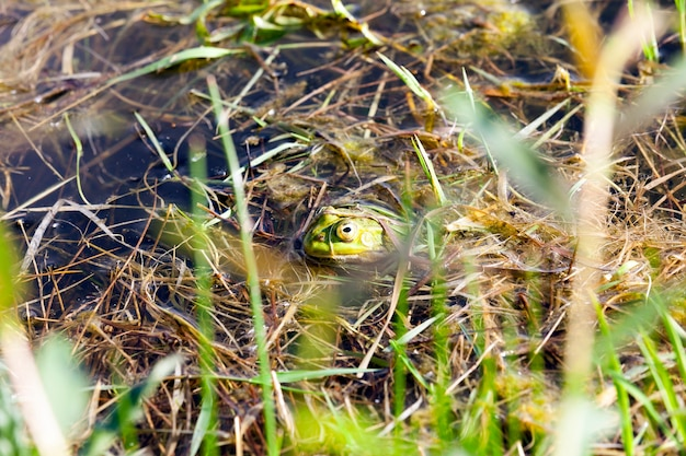 A green frog floating in the water with a head protruding from the water and a grass growing on the shore of a small swamp with stagnant water, closeup