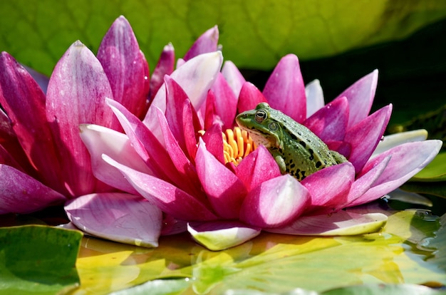 The green frog is sitting in a red water lily.