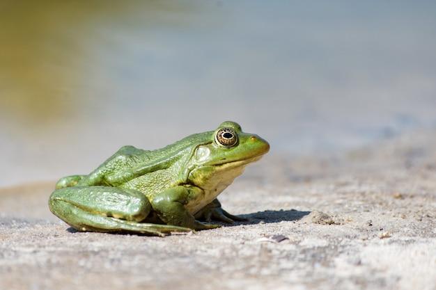 Зеленая лягушка на песке. вид сбоку крупным планом