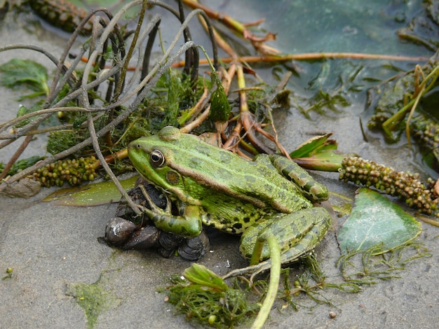 Green frog on the shore of a pond