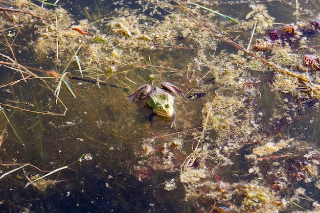 The green frog in the swamp froze in the spring