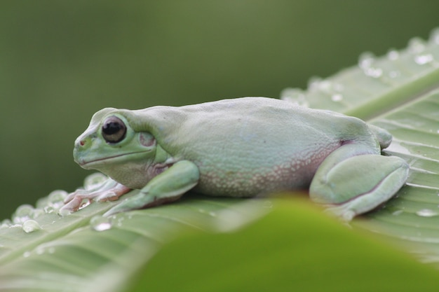 Green frogs on the leaves