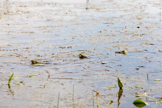 交尾期に沼の泥水に横たわる緑のカエル