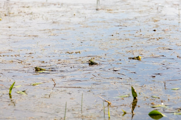 Green frogs lying in the muddy water of the swamp during the mating season