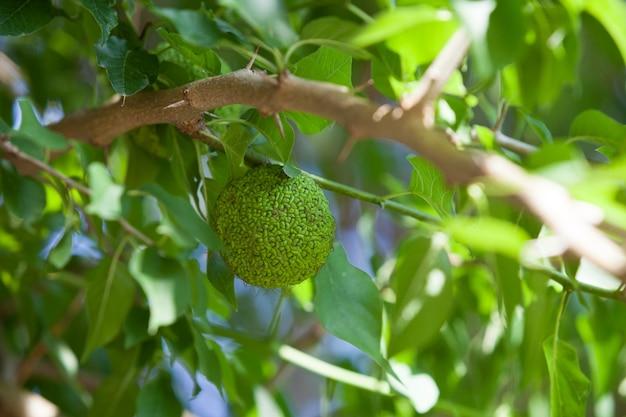 Зеленые плоды maclura pomifera adams apple osage апельсин лошадь яблоко растет в дикой природе на дереве