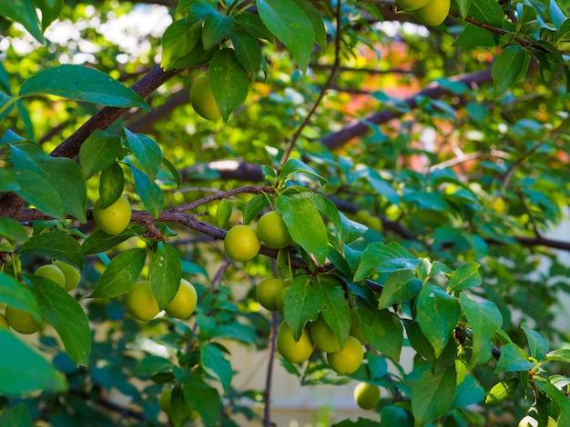 庭の枝に未熟なチェリープラムの緑色の果実。夏の晴れた日。