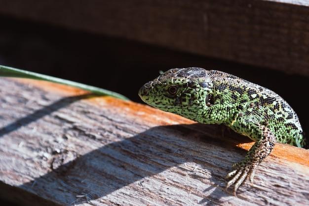 Green gadren sand lizard on board. macro shot