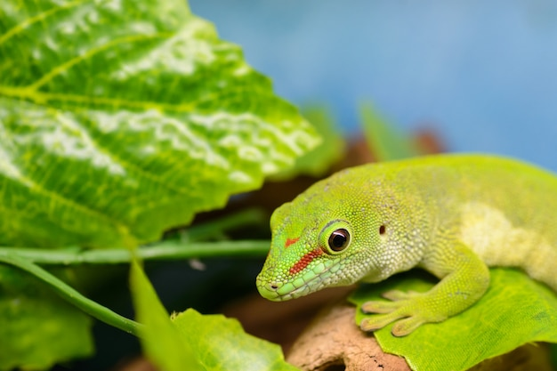 A green gecko (phelsuma grandis) is watching the letter.
