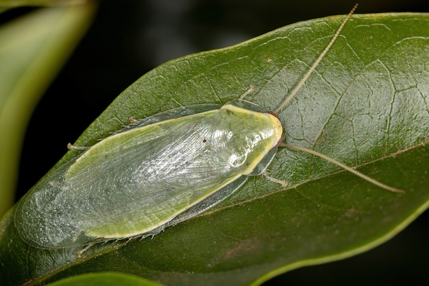 Green giant cockroach of the genus panchlora