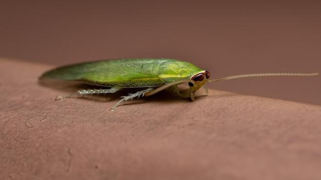 Зеленый гигантский таракан из рода panchlora