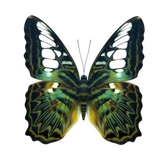 Green golden bird wing Cruiser butterfly