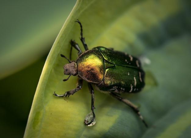 녹색 황금 cetonia 딱정벌레는 hosta 잎에 기어 다니며.
