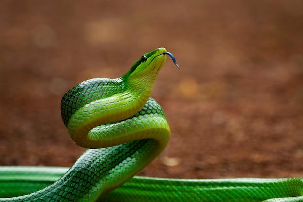 Gonyosomaoxycephalumを見回す緑のgonyosomaヘビ