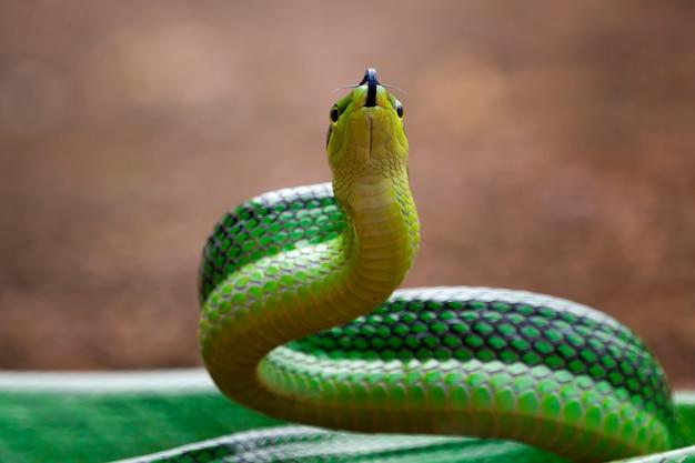 Serpente gonyosoma verde che si guarda intorno gonyosoma oxycephalum