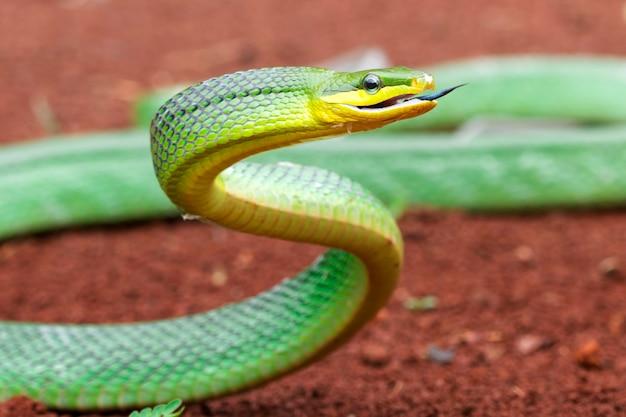 주위를 둘러보는 녹색 gonyosoma 뱀