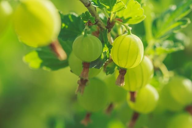 Green gooseberry berries