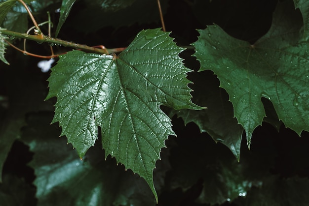 Green grape leaves background. foliage of wine