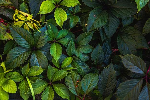 Зеленые листья винограда в винограднике. вдохновляющие природные цветочные весенние или летние фермерские хозяйства на зеленом фоне сада