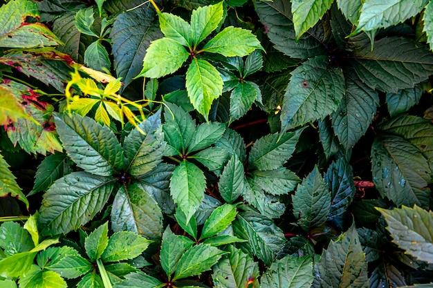 Зеленые листья винограда в винограднике