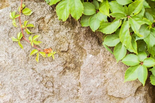 石の壁に緑のブドウの葉