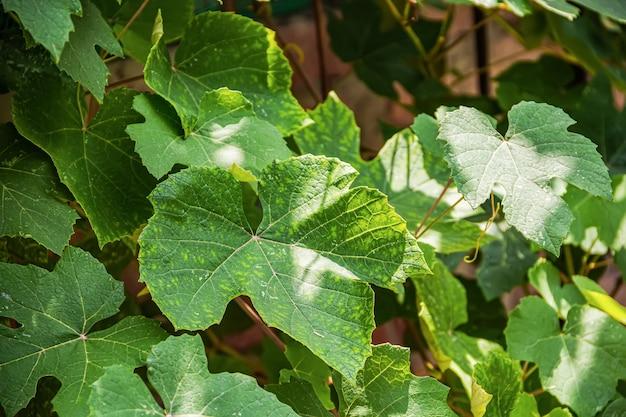 Зеленые листья винограда с желтоватыми прожилками. растительность в небольшом домашнем саду.