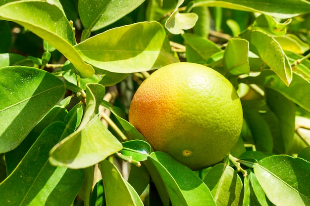 Green grapefruit on tree in plantation close up