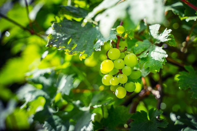 Green grapes on a branch. vineyard