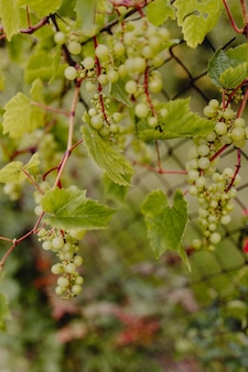 Green grapes on a grapevine