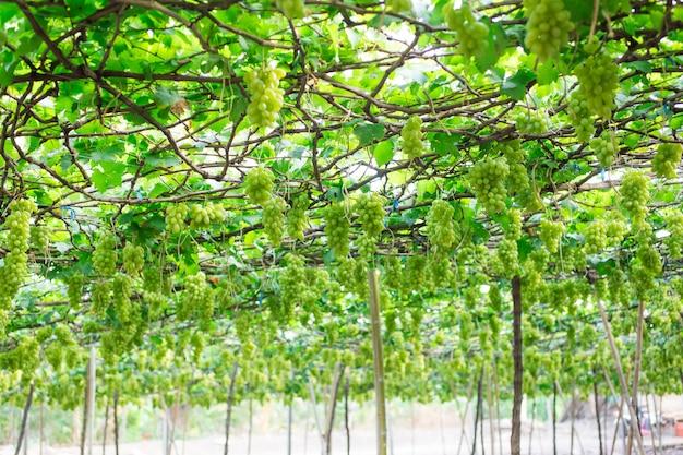 Green grapes hanging on a bush, damnoen saduk, ratchaburi province. thailand