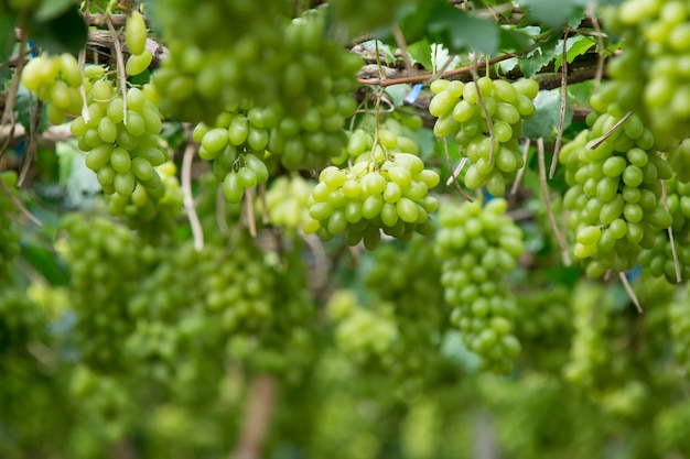 Green grapes hanging on a bush