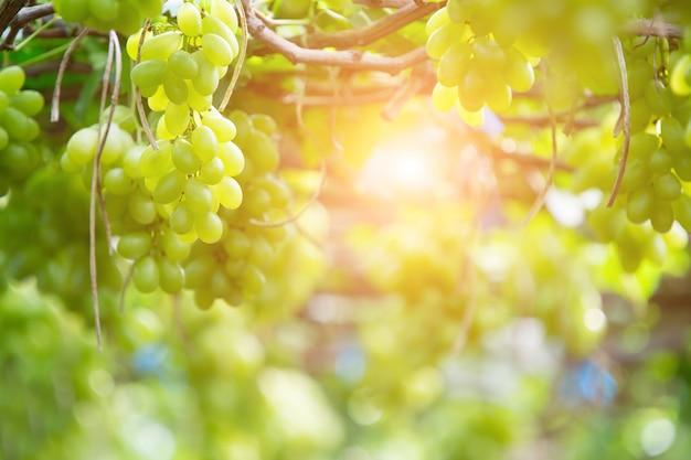 Зеленый виноград висит на кусте, дамноен садук, провинция ратчабури. таиланд
