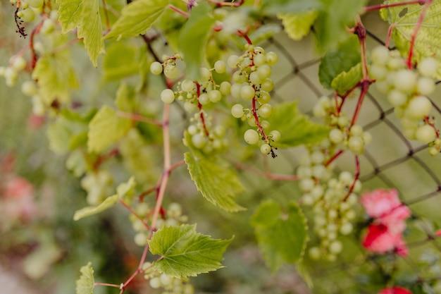 ブドウの上に緑色のブドウ