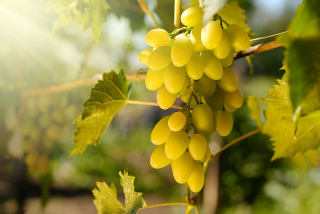 Зеленый виноград на лозе время заката