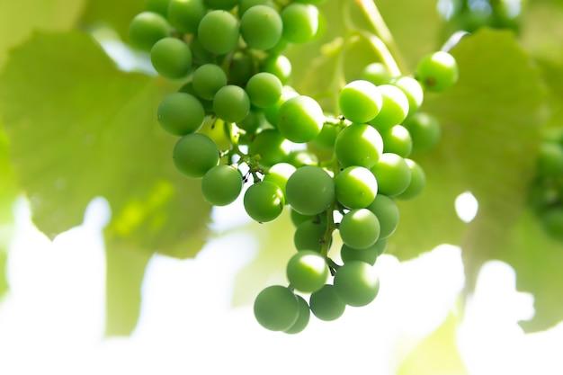 緑のブドウは木で熟します。ブドウの栽培。