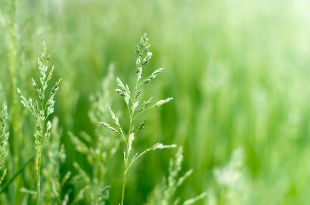 Зеленая трава размытая