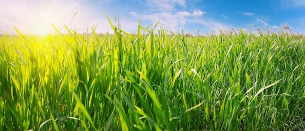 Зеленая трава против голубого неба с ярким солнцем