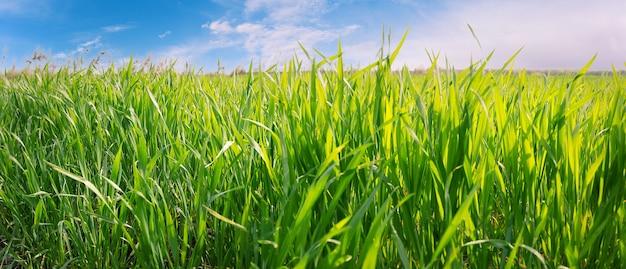Зеленая трава на фоне голубого неба