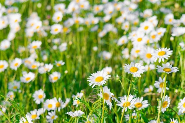 自然の中で緑の芝生とカモミールフィールド。