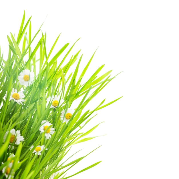 Зеленая трава и ромашка